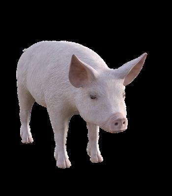 pig-3961588_640