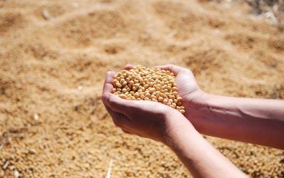 soybean-1831703_1280