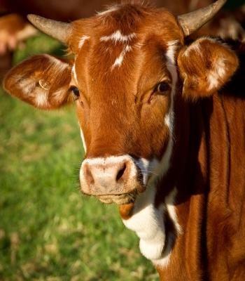 cow-425164_1920